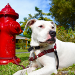 Why flea control and prevention is important for your deaf dog's health