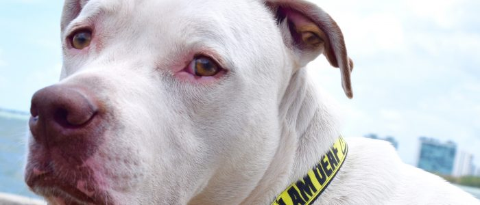 Collars, Leashes & Harnesses for Deaf Dog Safety