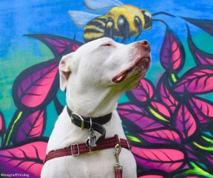 Fighting Canine Cancer with Nutrition: A Ketogenic Diet with Dr. Harvey's Paradigm by The Graffiti Dog featuring white deaf dog Edison with street art by Danny Osorno