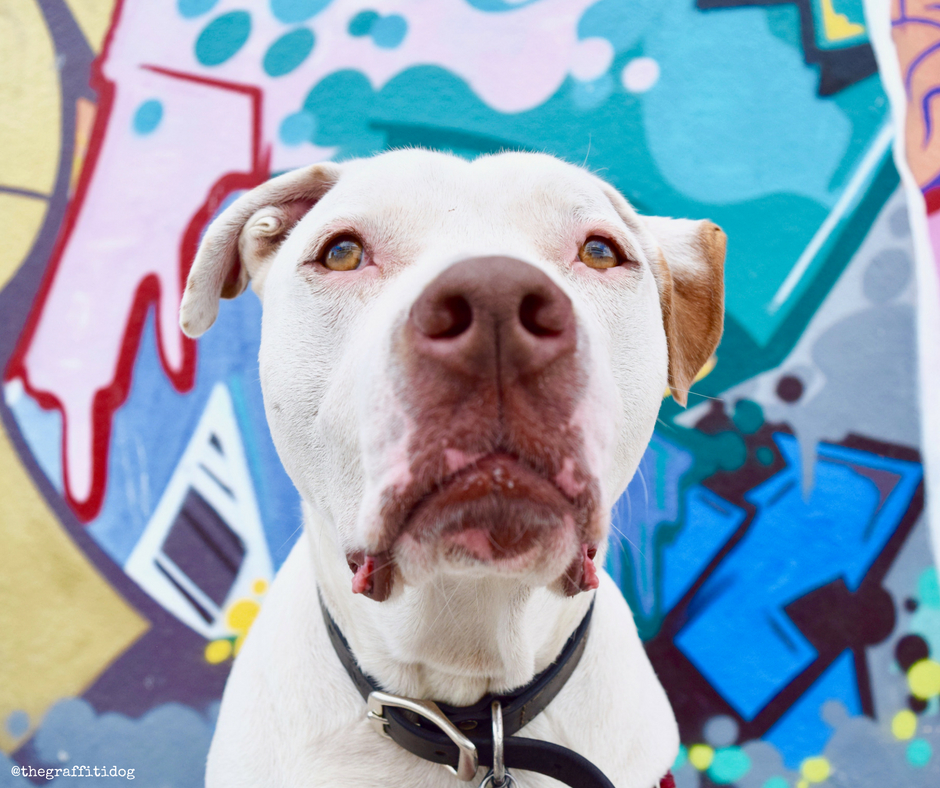 Herbal Protection For Dogs: Keeping Pests and Parasites Away Holistically with Dr. Harvey's featuring white deaf dog Edison with street art